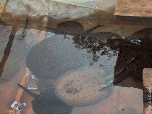 trafic de raies d'eau douce, Orenoque, Colombie